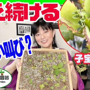 増え続ける多肉植物・子宝弁慶草【くまパン園芸】