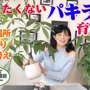 【観葉植物】枯らしたくないパキラの育て方【くまパン園芸】