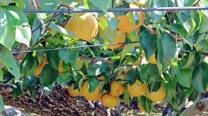 Y県のぶどう園とC県の果樹園