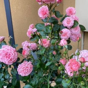 薔薇が咲いてるよー