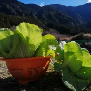 早春の家庭菜園 ♡ ミックスレタスの種蒔き