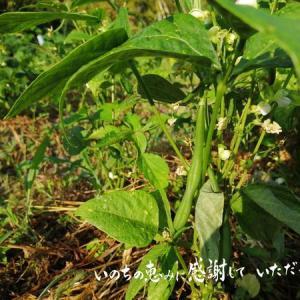 梅雨前に元氣に育ったツルなしインゲンはたくさん収穫できたけど…