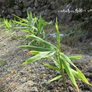 コオロギ対策しながら、自然農法でアブラナ科野菜を育てる