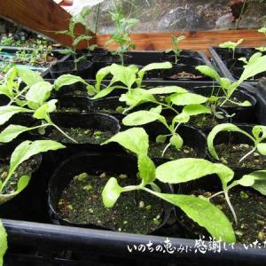 育苗中の白菜の畝の準備