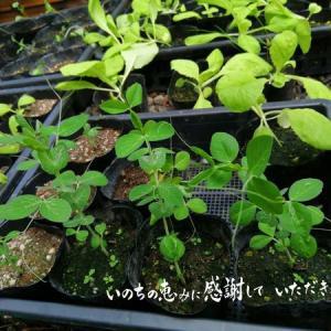 台風10号の豪雨と強風の止み間に 種蒔きや定植