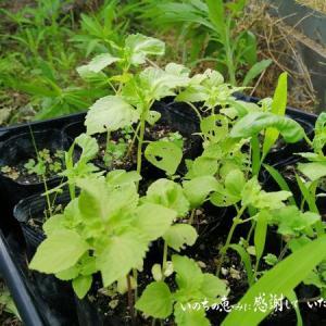 ミミズが増えて肥えて来た畝に 青じその苗を定植