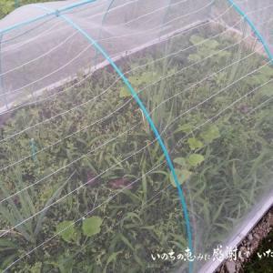 南瓜の発育の差がすごい… 九条ネギの定植