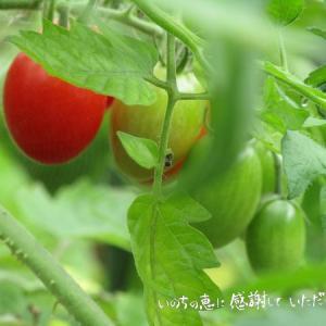 トマトが豊作♡屋根の効果絶大でした♪