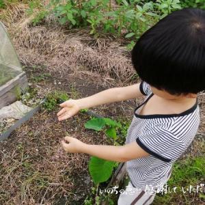 2度目の白菜栽培♪ 土壌改良の効果に期待してます♪