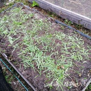 土壌改良した畝に大根の種を蒔いてみよう♪