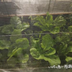 土壌改良の効果が見えてきた♪ 大根と白菜たち