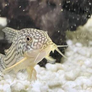 小型水槽でコリドラスステルバイが産卵、手軽で簡単な繁殖方法