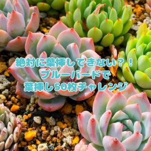 たにログ260 【実験記事】ブルーバードは葉挿しできない?葉挿し50枚チャレンジに挑戦!