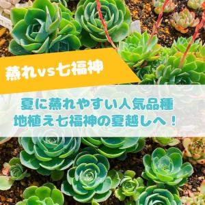 たにログ272 【七福神】直射日光&雨ざらし!地植えの七福神畑は本当に夏越しできるのか?