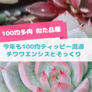 たにログ274 【100均似た品種】爪が可愛いティッピーとチワワエンシスの見分け方!