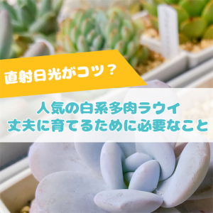 たにログ275 【難易度高め?】白い粉系多肉ラウイの育成は難しい?日光不足で☆になる?!