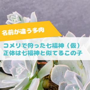 たにログ276 コメリの七福神の正体は、よく間違われる薄葉が特徴のあの品種だった!