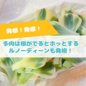 たにログ279 【発根】蒸れた多肉の葉挿しの発根!ルノーディーンの葉挿しの発根!