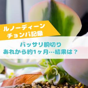 たにログ280 【高級多肉】失敗しないためのルノーディーン胴切り&発根の成長記録!