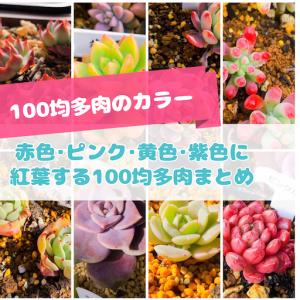 たにログ282 【100均多肉】紅葉に向けて赤色・ピンク色・黄色・紫色の100均多肉まとめ!