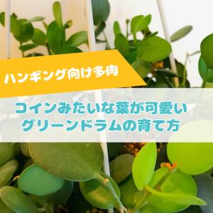 たにログ284 【ハンギング】コインみたいな葉が可愛い多肉植物グリーンドラムの育て方