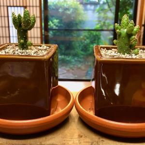 サボテン2鉢