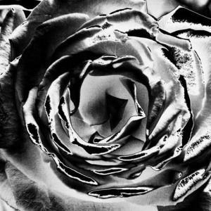 バラの真髄