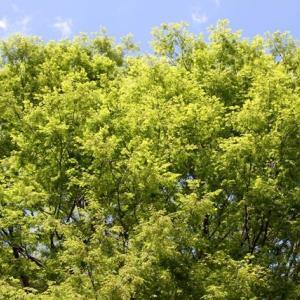 木々の若葉の芽吹きに救われた 生き物語ー自然は尋常ではない82話