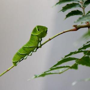 ❝ アゲハの幼虫と悩み ❞ 生き物語ー自然は尋常ではない!105話
