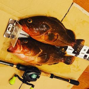 【釣行記】今年の僕は一味違う【香川県のアコウゲーム】