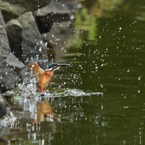【カワセミ】飛び出し&飛翔!【ニコンD5】