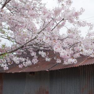 桜、トタン屋根とともに