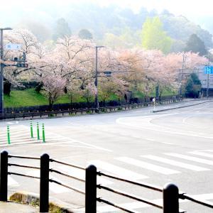 蹴上の桜、インクラインに咲き誇る