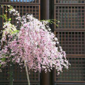 東山の路地裏、桜と柳と水の流れ
