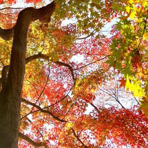今朝の京都御苑*今年の紅葉は質がいい*