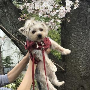 まりも物語:28、2度目の桜 ~腎不全・余命宣告後の奇跡~