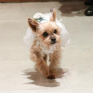 チーちゃんの思い出:3、チーちゃん、結婚式でリングドッグに!