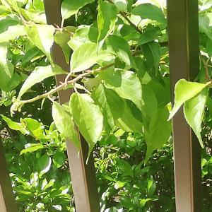 庭のザクロの木に
