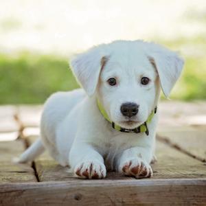 獣医学生が飼育をオススメする犬種とは?
