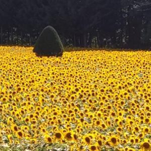 猛暑日のひまわり畑・・・