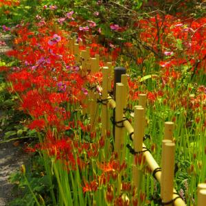 上州 太田花の寺     浄楽寺  ヒガンバナが9分咲です。 2021年9月16日