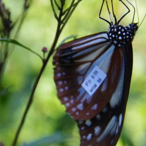 アサギマダラ  福島裏磐梯グランデコ 8月29日から赤城自然園に9月20日に見る