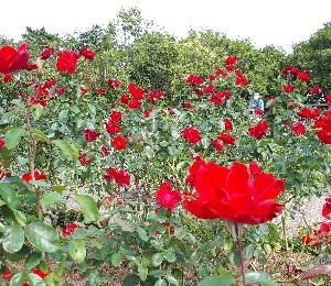 【日記】薔薇の香りに癒されて・・・