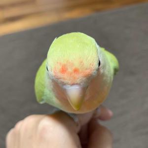 コザクラちゃんの頭の羽