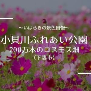 【小貝川ふれあい公園のコスモス】2020年の開花状況と見頃時期 朝焼けが美しすぎる