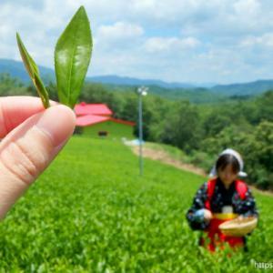 【南山城】お茶摘み・お茶づくり体験<お茶の京都日帰りリベンジ旅>