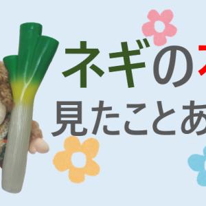 【ネギ坊主】ネギの花、見たことある?