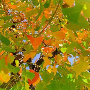 紅葉で深まりゆく秋を感じています…