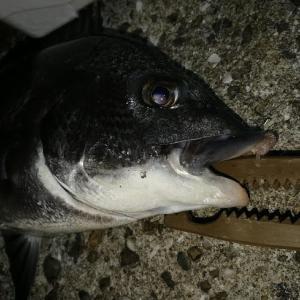 神戸アジング番外編Σ(゚д゚lll)アジよりHITした奴は意外な魚だった。!(◎_◎;)