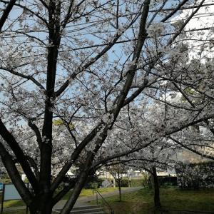 とても 桜が綺麗です。٩( ᐛ )و